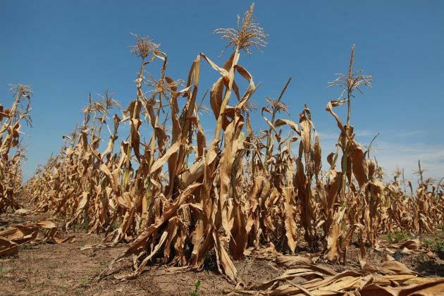 Paraíba Online • 100% da safra de milho na zona rural de CG foi praticamente perdida